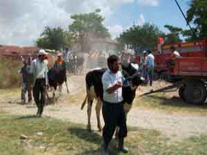 Köylülere 190 süt ineği dağıtıldı