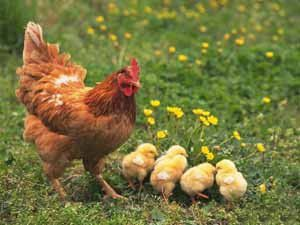 Kümesteki tavuk ve civcivleri çaldılar