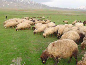 2 bin 500 lira maaşla çalışacak çoban bulamıyorlar