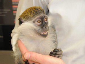 O sadece maymun değil; çünkü o paçoz