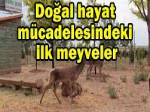 Torku Ormanları geyikleri yavruladı