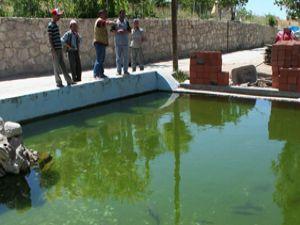 Nesli tükenen balıkları havuzda yetiştiriyor