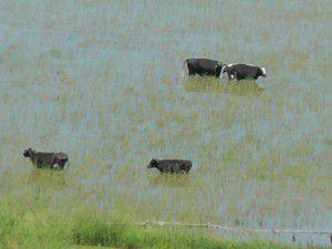 Su altında kalan tarlalarda serinliyorlar