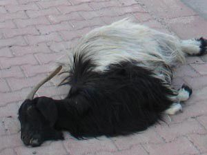 Sürücü çarptığı keçinin sahiplerince bıçaklandı