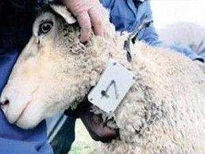 Koyunlar cep telefonu kullanıyor