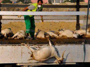 Sıcak hava TIRdaki 140 hayvanı telef etti