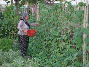 Hobi Bahçelerinden ürün alınmaya başlandı