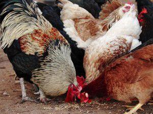 Tüketiciye tavuk görünümlü horoz yediriyorlar