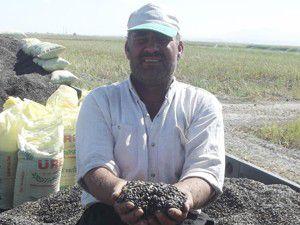 Karapınarda ayçiçeği ekim alanları artıyor