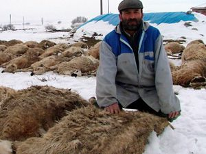 Koyunlar Yem Kurbanı
