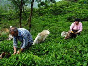 Bayrama kadar yaş çay bedelleri ödenecek