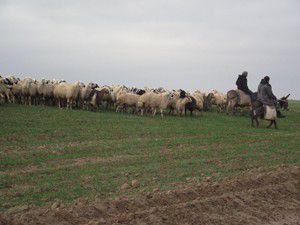 Kuluda ekili alanlarda koyun otlatan çobana ceza