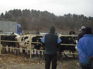 Çamlık beldesinde süt inekleri dağıtıldı