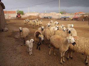 Koyunlar nasıl öldü?