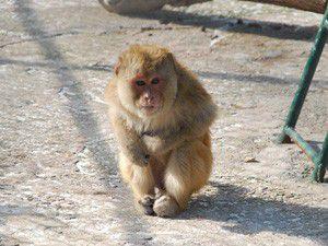 Maymun sayısı 15e yükseldi