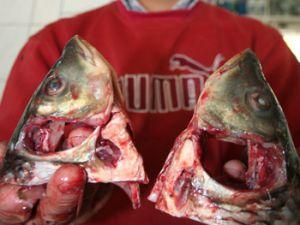 Fakire balığın başı düşüyor