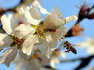 Bal arıları elektro sensörlerle yol belirliyor