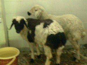 Şüpheli koyunları adak için almıştım dedi