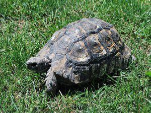 Kaplumbağaların kabuklarının sırrı çözüldü