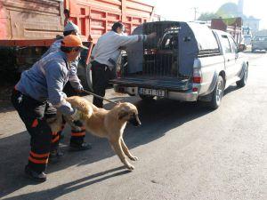 Köpekler toplanarak hayvan barınağına götürülüyor