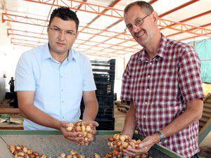Konyadan Hollandaya lale ihracatı