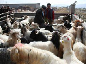 Türkiyeden komşu ülkelere kaçak hayvan giriyor
