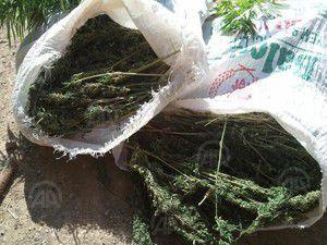 Mısır tarlası değil uyuşturucu bahçesi!