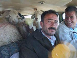Bir otomobil, 9 koyun ve iki insan