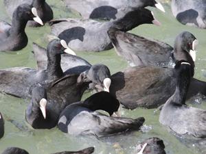 Sazlıklar su kuşlarının üremesi için önemli