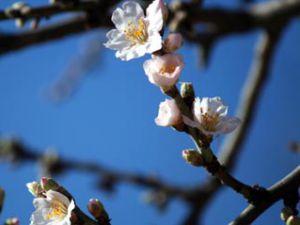 Mevsimi şaşıran badem ağacı çiçek açtı
