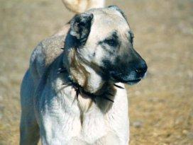 Çoban köpeğinin saldırısına uğradı