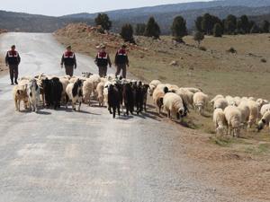 Kaybolan koyun sürüsünü jandarma buldu