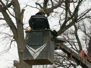 Asırlık ağaçlara bakım yapılıyor