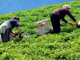 2014 yılı çay alım fiyatları açıklandı