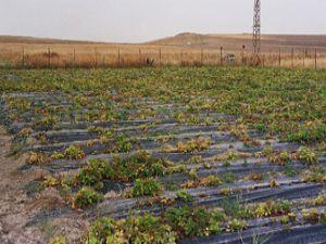Hüyükte organik tarım atağı
