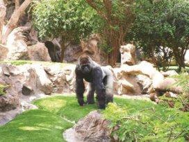 Goril sahte iğne gerçek