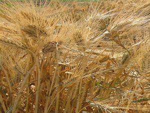Buğdayda geçen yılın kalitesi yakalanacak mı?