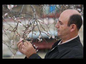 Badem ağaçları çiçek açıyor