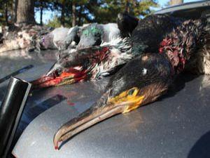 Eti yenmeyen kuşları bile avlamışlar