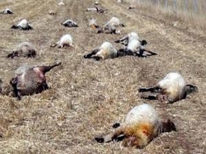 113 koyun havasızlıktan telef oldu