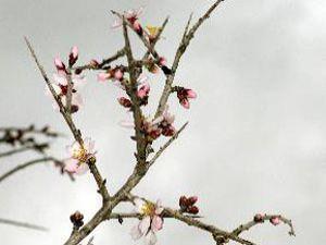 Ağaçlar erken çiçek açtı