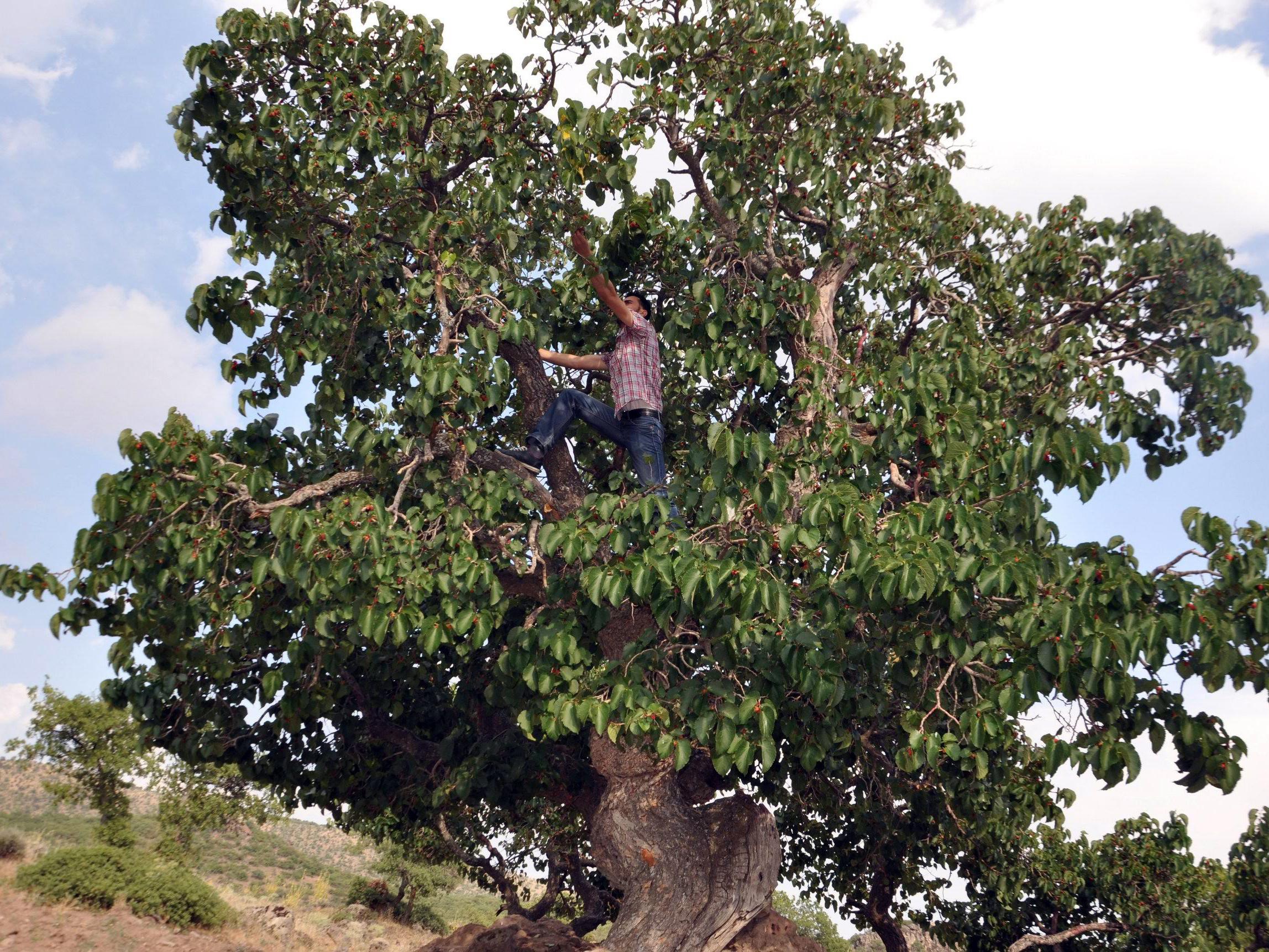 800 yıllık karadut ağaçları ilgi topluyor