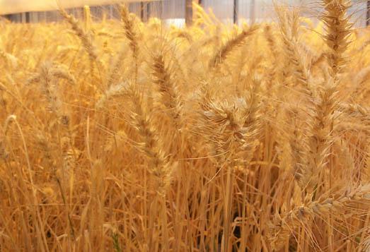 Beyşehirde kuraklık hububat üreticisini etkiledi