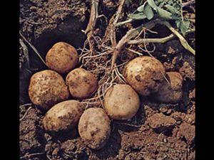 Patates üretiminde verim nasıl arttırılır?