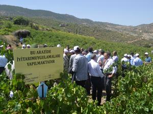 Konya'da üzüm hasadı