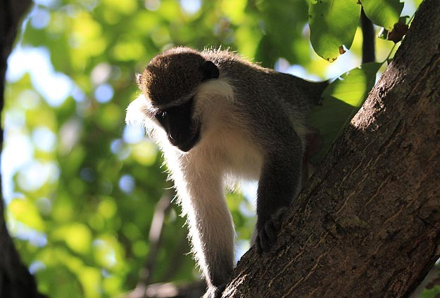 Kaçak maymun yakalandı