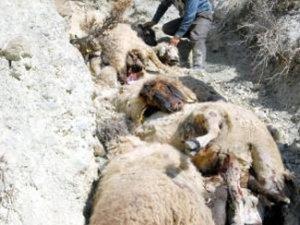 Sürü psikolojisi 150 koyunu öldürdü