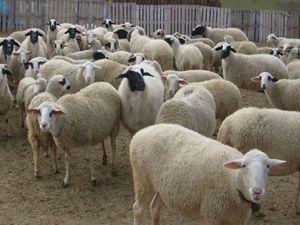 Kadınhanında koyun hırsızlığı