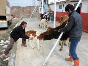 Çalıntı ineklerin sahibi testle bulundu
