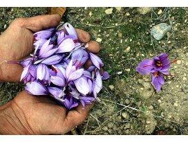 Dünyanın en pahalı bitkisi millileştirildi